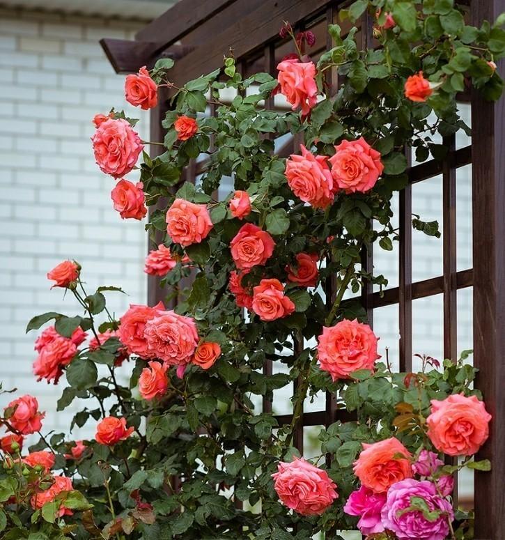 самые простые плетистые розы фото и названия системы