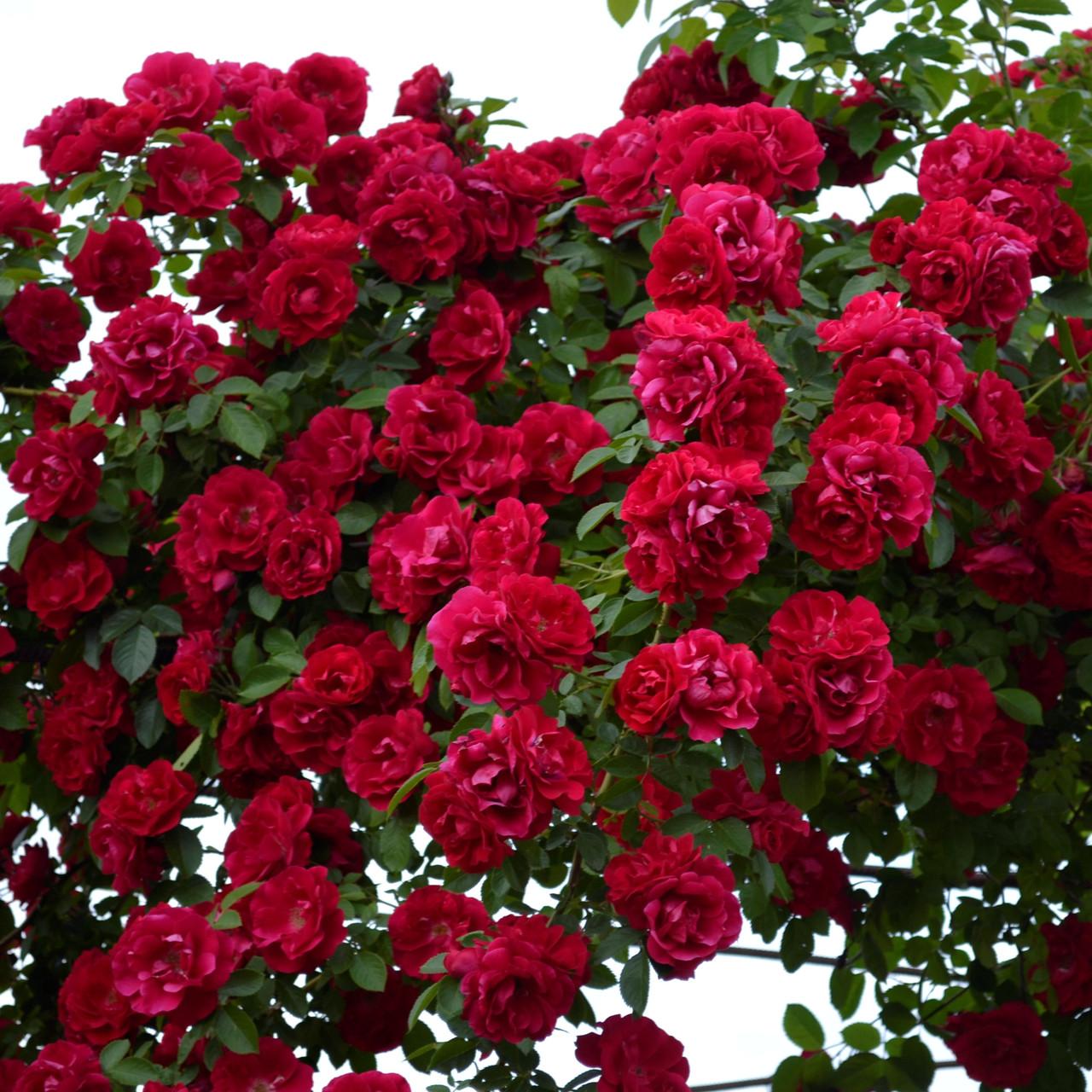 сорта роз с фото и названиями плетистые коляски повод