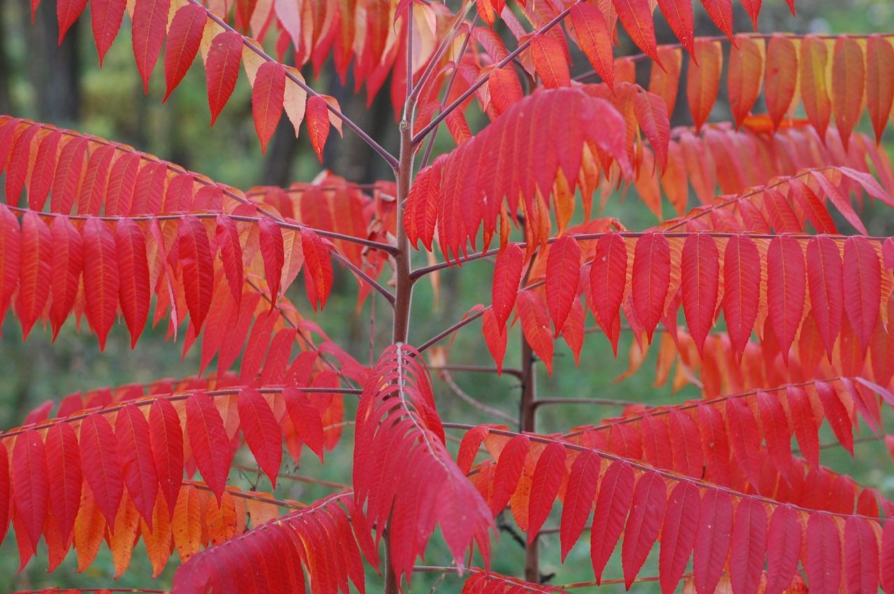 получения уксусное дерево фото и описание что такие