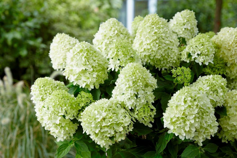 Цветы доставкой, купить цветы будлею гортензия метельчатая